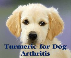 Turmeric can be great for dog arthritis. Get to know why you should give your dog turmeric and how much.