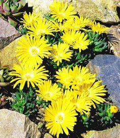 BALDUR-Garten Winterharter Bodendecker Goldtaler, 2 Pflanzen Delosperma congestum BALDUR-Garten GmbH http://www.amazon.de/dp/B00EIP8KVY/ref=cm_sw_r_pi_dp_Aphevb1KTQSRZ