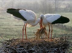 White Stork pair setting up house in Ukraine