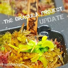The DRACULA PROJECT   Remember me...  #carnivoroustagram #carnivorousplant #carnivorousplants #dionaea #muscipula #dionaeamuscipula #venus #flytrap #venusflytrap #vft #dracula #californiacarnivores #narcityvancouver #vancouverofficial #vancitybuzz #iamvancouver #typicalvancouver #vancityfeed #vancityhype #wearevancouver #vancouver_canada #discovervancouver #veryvancouver #604now #myvancouverlife by gothictraps
