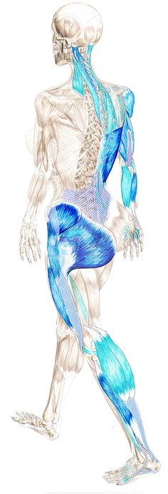 Resultado de imagem para the spiral engine of locomotion Anatomy Art, Human Anatomy, Muscle Anatomy, Sports Massage, Anatomy And Physiology, Anatomy Reference, Reflexology, Massage Therapy, Physical Therapy