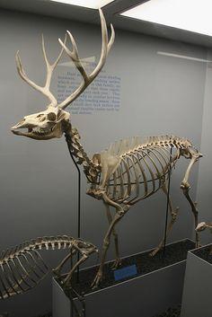 . Mule deer skeleton (IMG_7328 edit) by PIWO on Flickr.