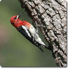 Red-breasted Sapsucker  – Weird & Fun #WildBird Facts from the Wild #Bird Directory –