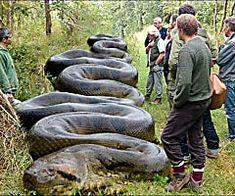 What is the biggest Anaconda? Anaconda Gigante, Giant Anaconda, Green Anaconda, Anaconda Snake, Healthy Food Swaps, American Frontier, Unusual Animals, Mundo Animal, Orangutan