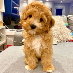 Cavapoo (Complete Breed Guide For New Owners) Cavapoo Puppies, Cute Puppies, Cute Dogs, King Charles Spaniel, Cavalier King Charles, Small Dog Breeds, Small Dogs, Non Shedding Dogs