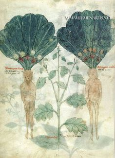 http://www.hsl.virginia.edu/historical/rare_books/herbalism/vienna.cfm http://dioscorides.eusal.es/index.php http://www.thedigitalwalters.org/Data/WaltersManuscripts/html/W750/description.html http://www.metmuseum.org/collections/search-the-collections/140008644 http://lorenzodottisketcher.blogspot.com.es/2012/04/cronologia-dellillustrazione-botanica_10.html