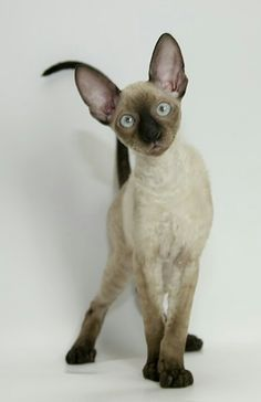 Cornish Rex Cat - The Cornish Rex cat breed is a tall, slender cat with a fine boned appearance. Despite their dainty looks, these cats are muscular and strong. This different cat breed has dainty paws and they tend to walk on tip-toe. Gatos Devon Rex, Devon Rex Cats, Siamese Cats, Sphynx Cat, Cats And Kittens, I Love Cats, Crazy Cats, Cool Cats, Pretty Cats