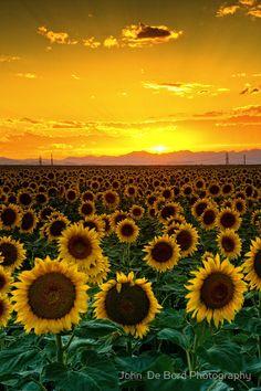 Sunflower sunset - ©John De Bord Photography (via RedBubble). Love Flowers, Beautiful Flowers, Colorful Flowers, Flower Carpet, Belle Image Nature, Beautiful World, Beautiful Places, Beautiful Sunset, Amazing Places