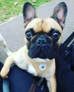 Hugo ❤️🐾 #dogsofinsta #dogwalker #dogs #doggydaycare #dogsandpals #frenchbulldogsofinstagram #frenchbulldog With Love from www.peachypaws.co.uk