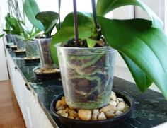 Container Gardening Phals in Pebble Trays - Here are some signs to check to know that your Phalaenopsis orchid is healthy and simple tips on how to take care of orchids. Indoor Orchids, Orchids Garden, Orchid Plants, Succulents Garden, Garden Plants, Indoor Plants, Planting Flowers, Potted Plants, Orchid Repotting