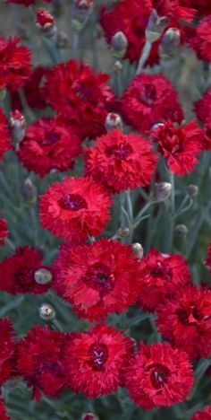 Fruit Punch Maraschino Dianthus is a new and colorful perennial that produces fragrant, double, hot cherry red blossoms atop a low mound of silvery blue, spiky foliage. Use it to edge sunny borders and pathways.