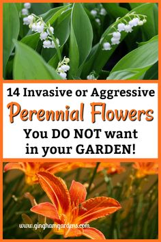 Flower Garden 14 Invasive or Aggressive Perennials Flowers You Do Not want in Your Gardens - There are so many lovely perennials available, so don't bother with these 14 Plants Not To Grow In Your Garden, or other invasive or aggressive plants. Best Perennials, Flowers Perennials, Planting Flowers, Flowers Garden, Flower Gardening, Gardening Zones, Container Gardening, Gardening Tips, Gardening Vegetables