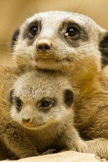Meerkat Cuddle | Flickr - Photo Sharing!