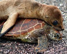 "Sea lion & Sea turtle  ""Dude, you're tickin me off!"""