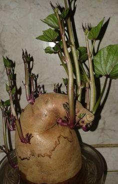 Hazánkban egyre elterjedtebb az édesburgonya – batáta – fogyasztása. Nem kíván nagy szakértelmet termesztése, könnyedén próbálkozhatsz vele kertedben.... Home Vegetable Garden, Plantation, Raised Garden Beds, Garden Styles, Fruits And Vegetables, Caramel Apples, Garden Plants, Outdoor Gardens, Planting Flowers