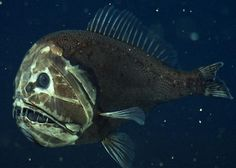 A fangtooth, photographed at about 2,600 feet (800 m.) below the surface of California's Monterey Bay. This fish's fierce appearance belies its size