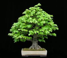 This is a very nice linden and a rather rare subject in the world of first-rate bonsai. That 's because the linden doesn 't respond to bonsai training as readily as some of the widely used material.