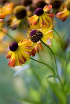 autumn flowers helenium russian sage sedum mums aster, bright flowers, flower options