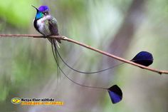 Zoologia: Beija-flor-silfide (Loddigesia mirabilis)