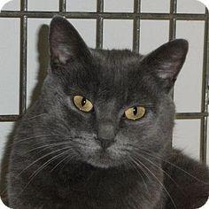 2 / 12    Washburn, MO - Russian Blue. Meet Sniper, a cat for adoption. http://www.adoptapet.com/pet/12410275-washburn-missouri-cat