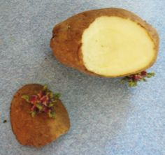 Keep a potato around until some eyes start growing on it. Slice a piece of the potato off where the eye is, and put it in a cup with water covering the potato, but not the eye. Soon, you'll have a potato plant sprouting up and you can plant it in the garden, or just watch it grow in the cup (no potatoes will grow in the cup, but the plant will grow and look good.)