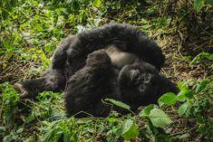 A Silverback, Gorilla Trekking in Virunga National Park in the Democratic Republic of Congo