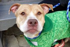TINY STAR - A1103939 - - Manhattan  TO BE DESTROYED 03/06/17: ****CAN BE PUBLICLY ADOPTED**** -  Click for info & Current Status: http://nycdogs.urgentpodr.org/tiny-star-a1103939/