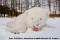 <b>Look at these PAINFULLY CUTE pictures of 73-day-old Siku playing in the snow.</b> I CAN