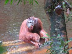 Wonderful update on the orangutans released from BOS Nyaru Menteng Danur swimming?