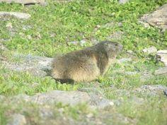 Marmotte sur la route du col de l iseran parc de la vanoise cote maurienne guide…