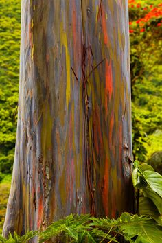 Rainbow Eucalyptus Tree in Waipio Valley on The Big Island of Hawaii.  These trees are truly amazing.