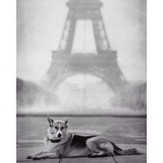 Babe was my very best friend Nancy LeVine (@senior_dogs_across_america @the_human_tableau) writes of this image. She is gone now but back in the day we traveled to #Paris at least twice a year for fashion shoots. It was when travel was as easy as getting on a plane. Parisians love dogs so wherever I went Babe was with me. A very very old soul. Never needed a leash. A wholehearted companion. This photo was taken immediately after a rain shower where everyone dispersed and we were the first to…