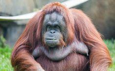 orangutan - Google Search