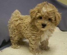 O.M.G. I want this puppy! ...Shihpoo!