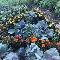 """Gröna Fingrar on Instagram: """"#plantering #odlahemma #odla #trädgård #odling #odla2019 #blommor #sommarblommor #tagetes #kål #köksträdgård"""" Cabbage, Vegetables, Instagram, Veggie Food, Cabbages, Vegetable Recipes, Veggies, Brussels Sprouts, Kale"""