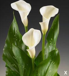 We carry the world's largest selection of calla lily bulbs. Choose from large white Aethiopica calla bulbs or colored mini hybrid calla lily bulbs. Zantedeschia, Special Flowers, Calla Lily, Wedding Designs, White Flowers, Flower Power, Wedding Bouquets, Floral Design, Bulb