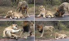 Dramatic moment lioness slaps away lustful mate after he bites her