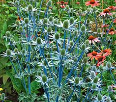 another sea holly. i am completely infatuated with this plant. it is such a great color and adds a different texture to the garden. definitely ordering for the spring!