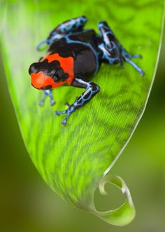 Ranitomeya benedicta Poison Dart Frog Photograph Artist Dirk Ercken Medium Photograph Description Poison dart frog Peru Amazon rain forest animal tropical exotic amphibian with bright red warning colors sitting on leaf in jungle.