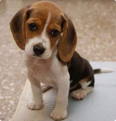 Are you interested in a Beagle? Well, the Beagle is one of the few popular dogs that will adapt much faster to any home. Cute Beagles, Cute Puppies, Dogs And Puppies, Doggies, Cute Animals Puppies, Beagle Puppy, Puppy Barking, Online Pet Supplies, Puppy Care