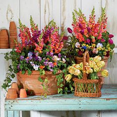 Snapdragons, Penny Violas, Tulips, Parsley and Ivy    Add height to your containers with showy snapdragons. They pair well with a mixture of Penny violas, tulips, parsley, and ivy.