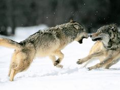 grey wolves action shot
