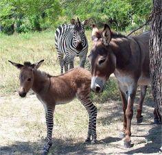 zebra bekijkt het resultaat van zijn daden