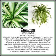 Zelenec