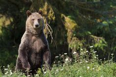 Knight Inlet, BC Grizzlyl Bear  © Rolf Hicker Photography