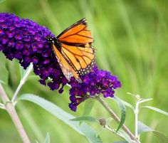 pinterest grasshoppers in the garden | Butterfly in the garden | INSECTS | Pinterest