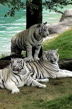 Image IMG 4682 in Wild cats album Nature Animals, Animals And Pets, Funny Animals, Cute Animals, Wildlife Nature, Wild Animals, Pretty Cats, Beautiful Cats, Animals Beautiful