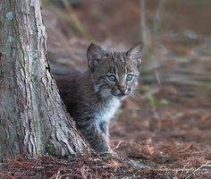 This is an image of a wild bobcat kitten taken a couple of days ago. There were four kits ranging in varying sizes from big to the littlest runt .