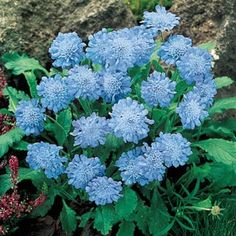 """Butterfly Blue Scabiosa Butterflies simply love them! This terrific plant starts blooming by early summer and continues blooming until mid fall. Deadheading will ensure continued blooming. An excellent choice for mass planting, edging borders, containers and rock gardens. Product Information: Light: Full sun to partial shade Height: 12-15"""" Deer Resistant Bloom Time: Summer Size: Potted Zones: 3 to 9"""