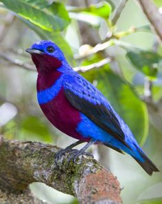 Blue-Raspberry Banded Cotinga, endangered, 7 inches; SE Brazil.